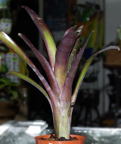 Billbergia nana