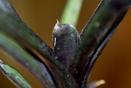 Neoregelia 'Black'