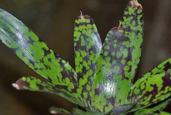 Neoregelia chlorosticata