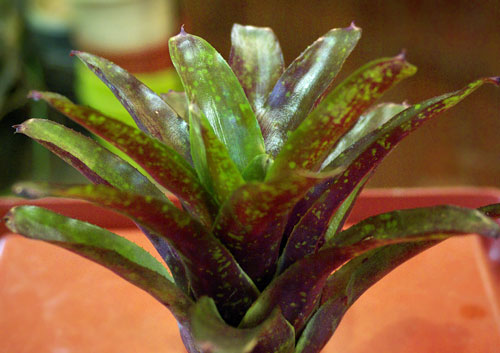 Neoregelia  'Green Apple' X 'Fireball'